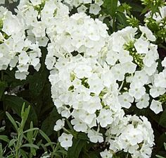 Phlox paniculata Peacock White - A nice cooling white for early season June/July Butterfly Plants, Herb Farm, White Gardens, Long Island, Garden Plants, Peacock, Flora, June, Herbs