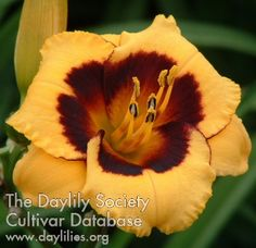Daylily Witches Wink