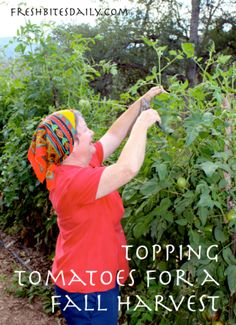 To maximize your harvest of ripe tomatoes into the fall, you must do some top-pruning on your tomato plants.