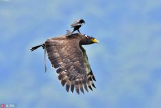 The bravest hitchhiker: A small but plucky bird was seen taking a free ride on the back of a large serpent eagle. The amusing and bizarre moment was captured by a photographer in Taipei, China's #Taiwan.