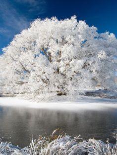 Hoar Frost on Willow Tree, near Omakau, Central Otago, South Island, New Zealand