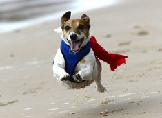 Stanley the Jack Russell has been compared to a superhero.