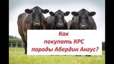 Продажа КРС мясных пород Абердин Ангус +79063333941 Раиль. Импорт КРС, Э...