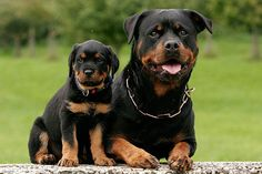 More About The Rottweiler Puppies Exercise Needs Rottweiler Facts, Rottweiler Puppies, Doberman Dogs, Beagle, Funny Dog Photos, Funny Dogs, Dog Mems, German Dog Breeds, Pet Breeds