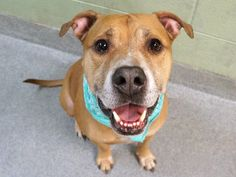 DUKE - A1013431 (ALT ID A1102604) - - Manhattan  TO BE DESTROYED 02/16/17**MULTIPLE TIMES ON LIST!** A volunteer writes: Meet our newest elderbull Duke (or Mellow Yellow as I like to call him!). He's 10 years young and 'bombproof', the kind of guy you could take anywhere knowing he'd be showered with smiles and praise just for being his own sweet self. Duke's well trained and keen for attention, active yet easy-going, and while we're out