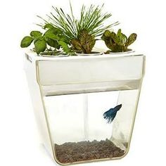 AquaFarm - Aquaponic System - There are certain essentials you need for gardening success: seeds, sunlight, water, goldfish. The double-decker combination of garden and fish bowl creates a symbiotic ecosystem. In the top tray, basil, mint, spinach, baby greens, and other edible or decorative plants thrive as nutrient-rich water is circulated past their roots. That process purifies the water, which is then sent back to the 3-gallon tank below, creating a happy, healthy habitat for a betta…