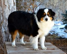 Color Country Aussies is a Quality Breeder of Toy and Miniature Australian Shepherds. We have all four colors or puppies including the much sought after Blue Eyed Tri's. We raise all of our puppies underfoot on a small ranch with daily contact to all sorts of situations so that they are ready for your family. We will at times have some adults for sale if you are looking for a Adult. We would love to make one of our Fur babies one of your fur babies. Check us out at…