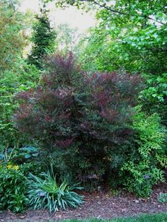 Future Plants by Randy Stewart: Nandina