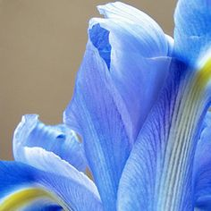 Here's how to crystallize a real flower to make a beautiful decoration. Real Flowers, Blue Flowers, Everything Is Blue, Flower Photos, Color Inspiration, Flower Power, Favorite Color, Meditation, Bloom