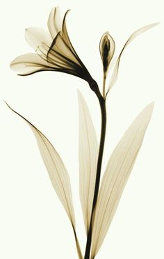 X-ray of Lily 2 by coopr on DeviantArt