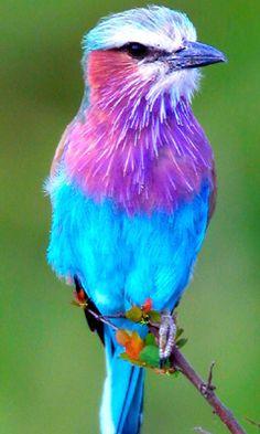 blue and purple bird
