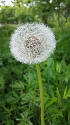 Bir nefes kadar narin... #tamzaratur Black Sea, Dandelion, Flowers, Nature, Plants, Hiking, Tours, Walks, Naturaleza