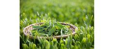 Trà Thái Nguyên được hoạch định phát triển bền vững Herbs, Plants, Herb, Plant, Planets, Medicinal Plants