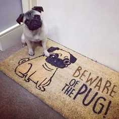 Kindhearted Dog Stuff For Apartment - Sweet Pugs Black Pug Puppies, Dogs And Puppies, Raza Pug, White Pug, Pugs And Kisses, Pug Pictures, Cute Pugs, Funny Pugs, Cutest Animals