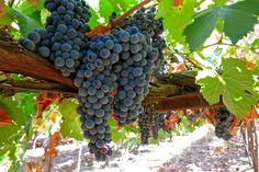 Touriga Francesca, Silvaspoons Vineyards, Lodi AVA. Photography by Randy Caparoso.