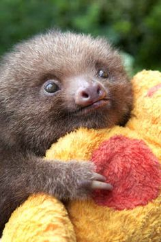 This list has nothing to do with the deadly sin of sloth, here you'll only find cute pictures of sloths, to brighten your day, and remind you to take it easy and relax a little, like the sloths do. This list has nothing to do with the deadly sin of Cute Baby Sloths, Cute Sloth, Cute Baby Animals, Funny Animals, Baby Otters, Wild Animals, Cute Creatures, Beautiful Creatures, Animals Beautiful