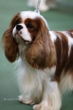 Cavalier King Charles Spaniel - CH. forestcreek Double o seven of pascavale