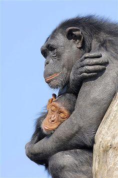 A mother chimpanzee cuddles her child. (© Rex Features)