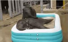 These baby elephants swimming are everything great you'll see today. (Click on link to see our blog) Cute Funny Animals, Cute Baby Animals, Frozen Soundtrack, Elephants Playing, Baby Elefant, Elephant Love, Baby Elephant Video, Elephant Bath, Kiddie Pool