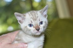 Maine Coon Kittens For Sale Seattle Kittens on Pinterest |...