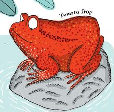 One of the red-heads of the animal kingdom, here is a tomato frog. From Creaturepedia. Publishing date: March Kids Lighting, Red Heads, Love Reading, Animal Kingdom, Dinosaur Stuffed Animal, March, Illustration, Books, Animals