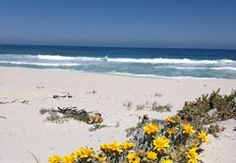 16 Mile Beach in Yzerfontein, Western Cape. Yzerfontein boasts South Africa's longest stretch of beach, 16 Mile Beach, which runs from Yzerfontein's . September Flowers, Stuff To Do, Things To Do, Beach Flowers, Rustic Cottage, Windsurfing, Travel News, Sandy Beaches, Africa Travel