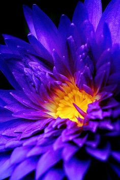 Flower Blue Water Lily