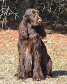 Field Spaniel #Spaniels #Dogs #Puppy