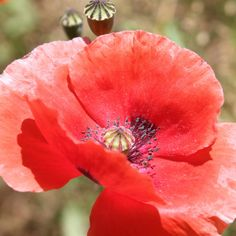 Poppy Photo Print by LittleBrownDoogPhoto on Etsy, $10.00