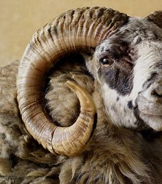 This would go well with many of the mounts on our walls! Very beautiful coloring. Probably a painted desert ram.