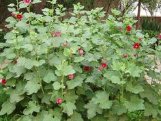 You can obtain hollyhock seeds from a neighbor's plant or at a nearby garden center.