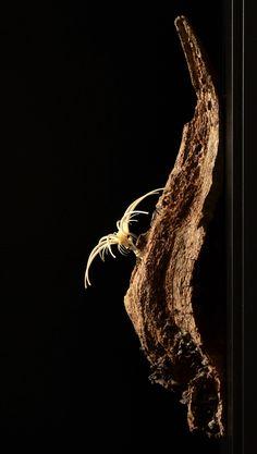 """ein Objekt der """"Wunderkammer Mensch"""" von Rudolph aus Knochen und Holz Wunderkammer, Contemporary Art, Style, Botany, Timber Wood, Swag, Outfits, Modern Art, Contemporary Artwork"""