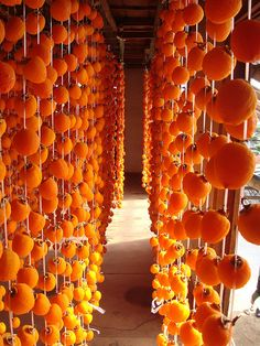 Curtain of dried persimmons, Nagano, Japan. Some Japanese persimmons are highly astringent and therefore inedible when they are not extremely ripe