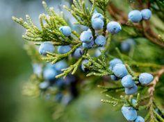 Österreichs Baum des Jahres: Wachholder #News #Pflanzen