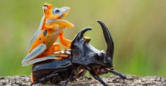 Photographer Captures World's Tiniest Rodeo: Frog Riding A Beetle | Bored Panda