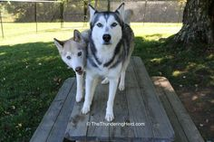 The picnic table safety zone is in play! #dog #siberianhusky #husky