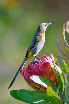 Protea Art, Protea Flower, Exotic Birds, Colorful Birds, Pretty Birds, Beautiful Birds, Watercolor Bird, Little Birds, Wildlife Art