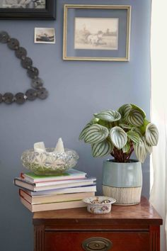 Color coordinate: We love how the silvery-blue variegation on this peperomia accents the blue pot and wall behind it.