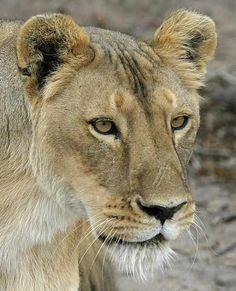 beauty lionesess