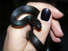 This is the pet I am going to get when I live in my own place. A Mexican Black King Snake! Beautiful Creatures, Animals Beautiful, Cute Animals, Baby Animals, Mexican Black Kingsnake, Milk Snake, Cool Snakes, Pretty Snakes, Cute Snake