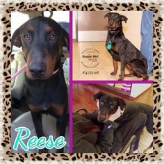 Reese is a smart, energetic and very affectionate female Doberman Pincsher mix. She is still a puppy at heart (approximately 1 year old) and she loves to play with dog toys, play fetch and take walks. She is 95% house trained and is very eager to learn new commands and to please her humans! She is full of love, for both her foster humans and foster siblings, and she has even learned to ignore the cats! Reese stays in a crate while we're at work (9+ hours per day) and she sleeps on a dog bed…