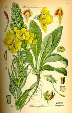 Verbascum phlomoides Flora von Deutschland Österreich und der Schweiz (1885)