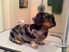 Longhaired dachshund grooming youtube puppy love pinterest long haired dachshund grooming styles picture winobraniefo Gallery