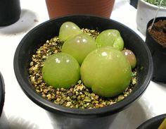 Conophytum burgeri