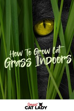 Here's how you can grow cat grass indoor for your kitty to keep him or her content indoors.    #cat #grass #indoors