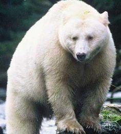 White Black Bear or Spirit Bear