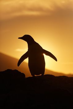 Penguin with Sunset by Markus Eichenberger on 500px