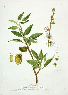 Almond Tree botanical illustration – $145 – Nicholas Francois Regnault La Botanique Prints 1774