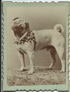 c.1890s small photo of pug wearing a harness with bells on it. Written on verso: For Mama. From bendale collection