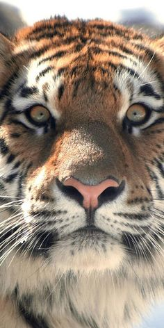 Tigers - such a magnificent animal